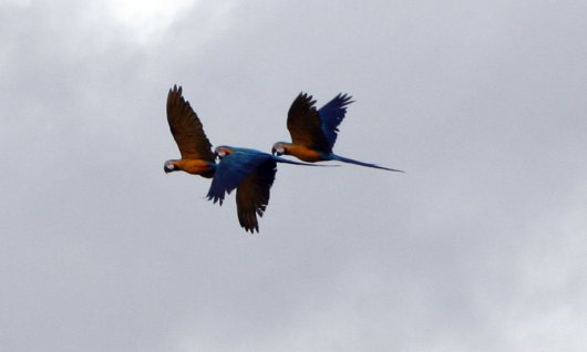 Blue and Gold macaws 4
